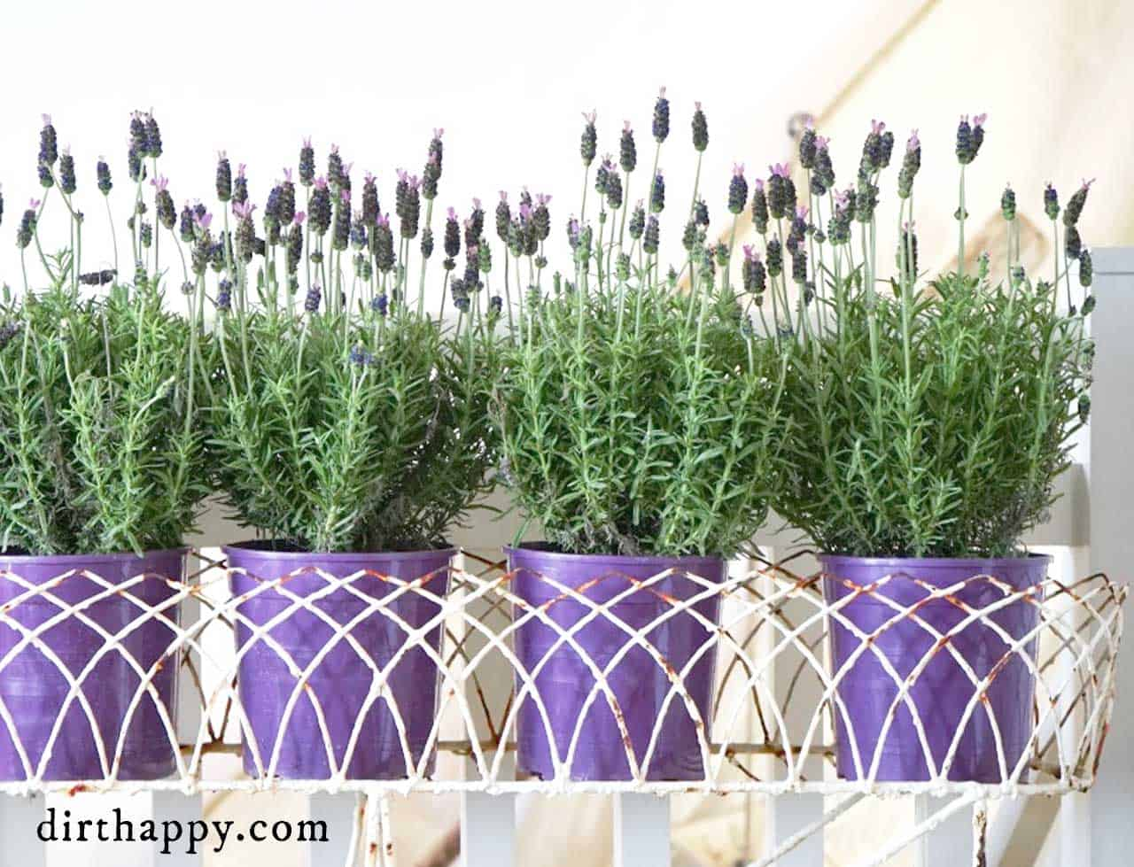 growing lavender in containers gardening