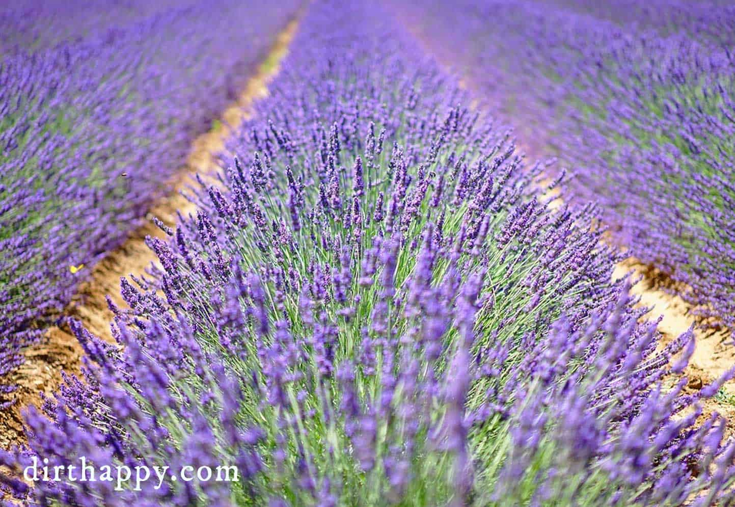 fields of lavender rows