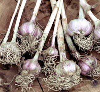garlic growing tips