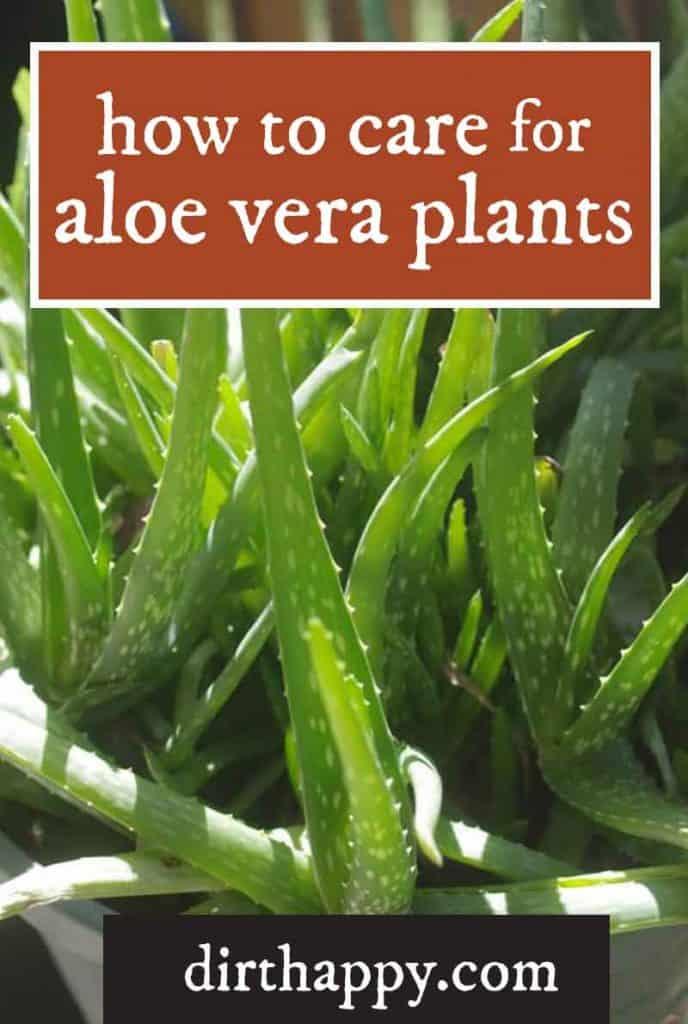 aloe vera plant care instructions