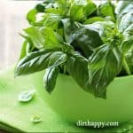 how to grow basil planting
