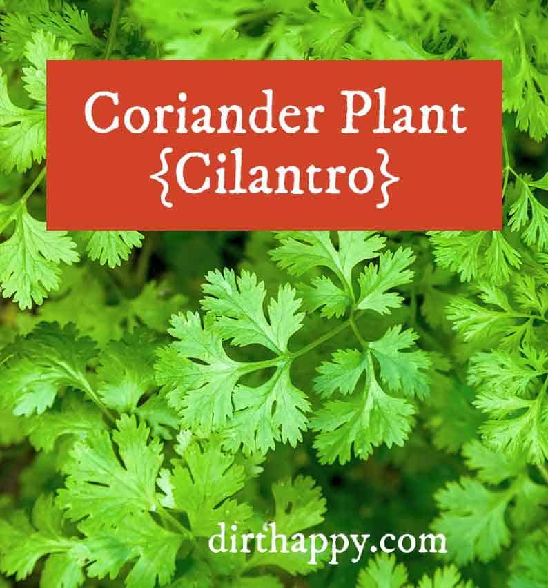 cilantro leaves coriander plant