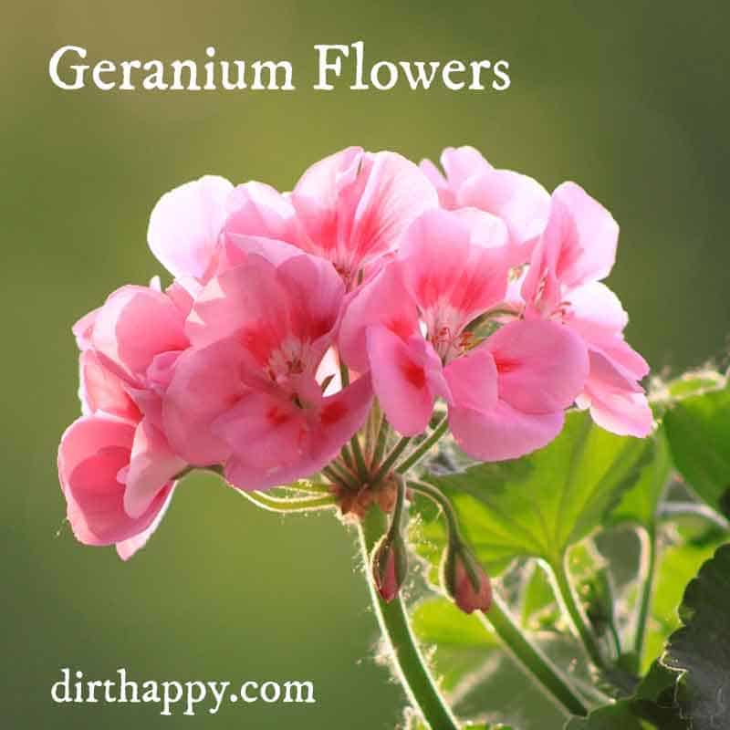 geranium flowers to repel mosquitos