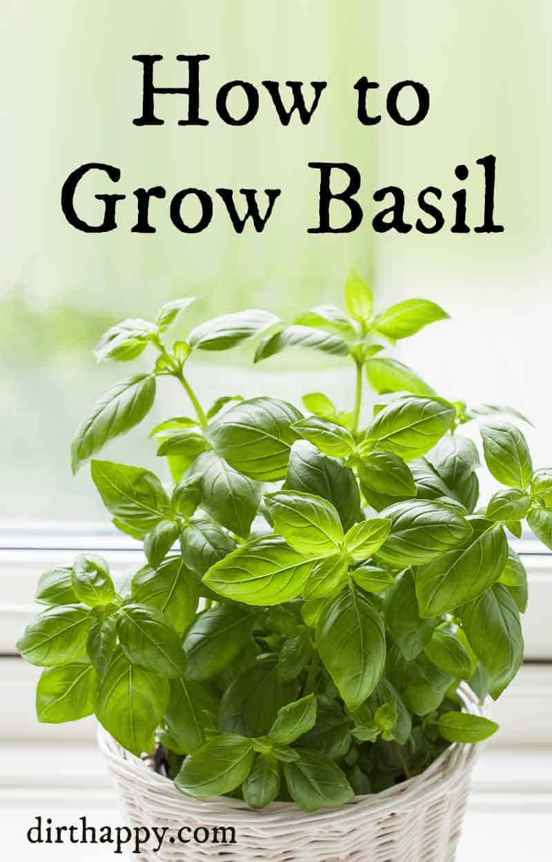 growing basil plant care