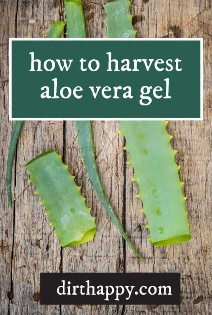 how to harvest aloe vera gel from the leaves