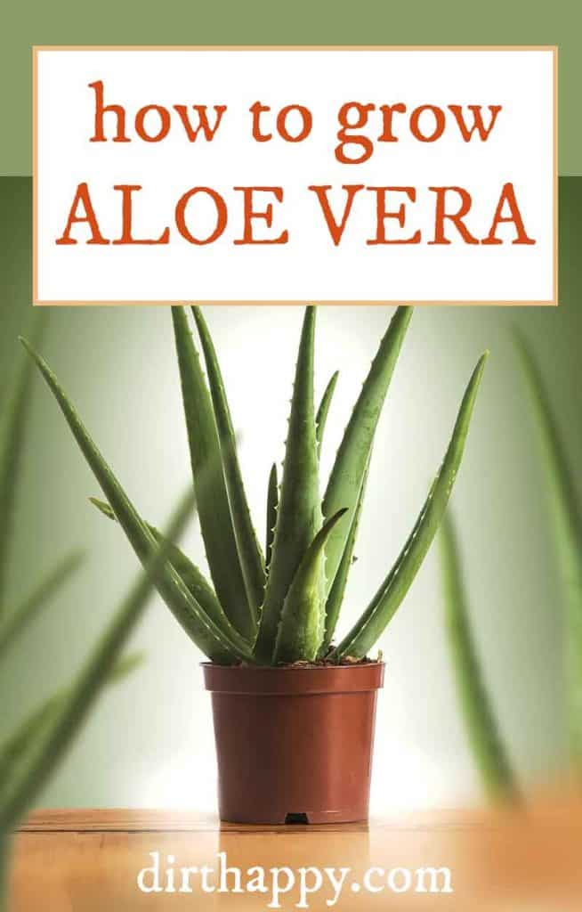 how to grow aloe vera plant