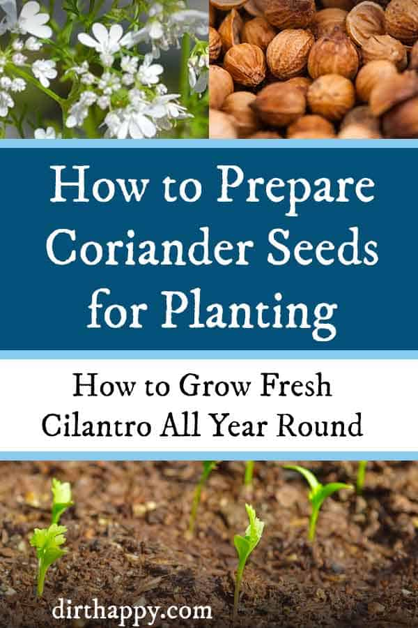 how to prepare coriander seeds for growing cilantro