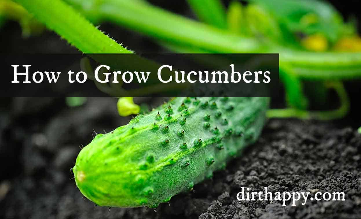 learn how to grow cucumbers in your garden
