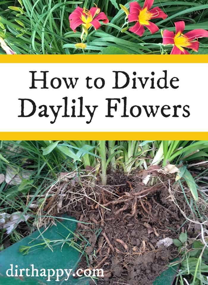 dividing daylilies
