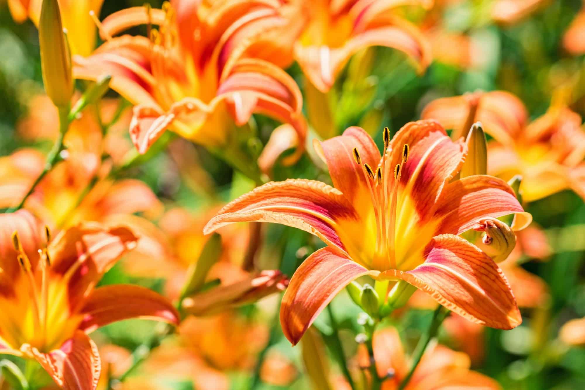 Several Hemerocallis fulva or orange Daylily blooming in garden