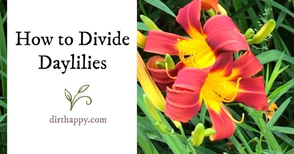 when to split daylilies