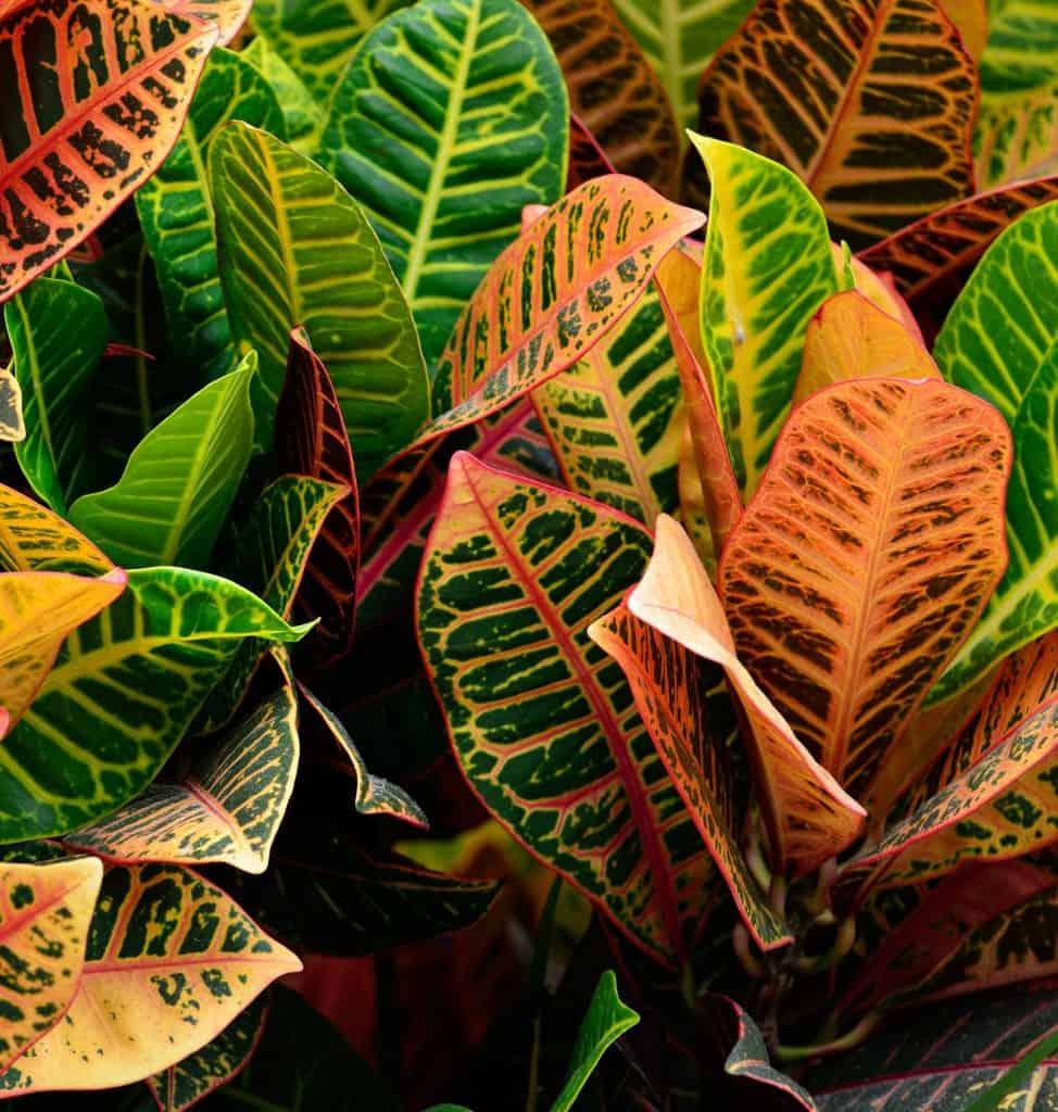 croton plant, vibrant, garden