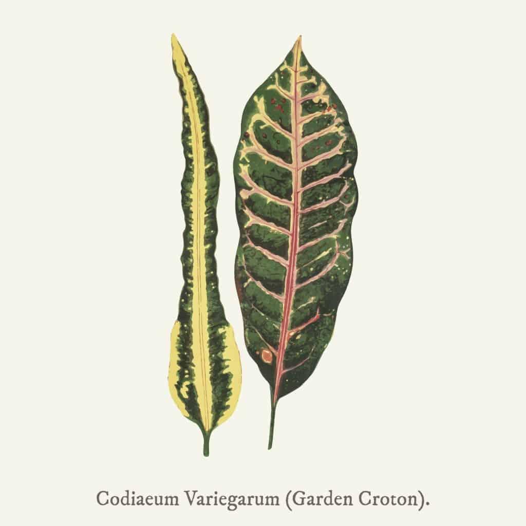 Garden Croton (Codiaeum Variegarum) found in (1825-1890) New and