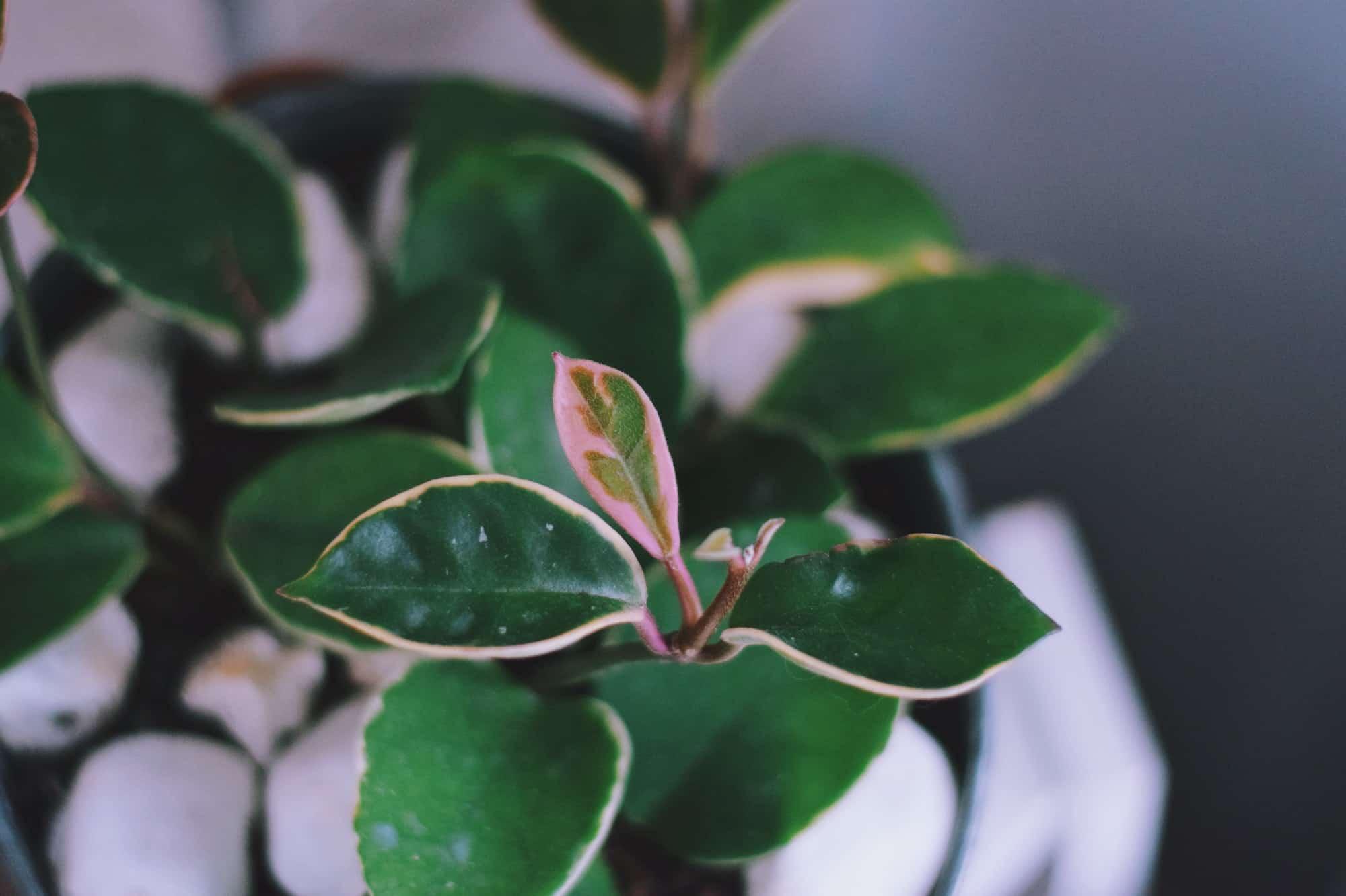 Green Hoya houseplant