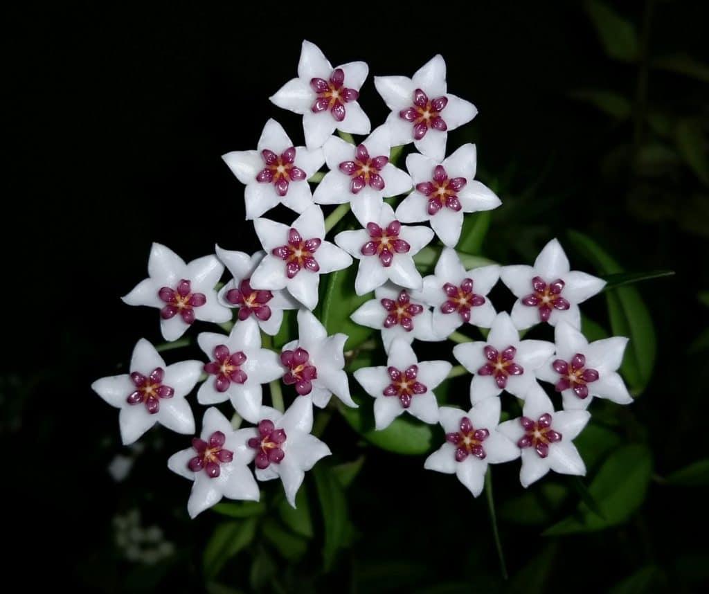 hoya flower clusters