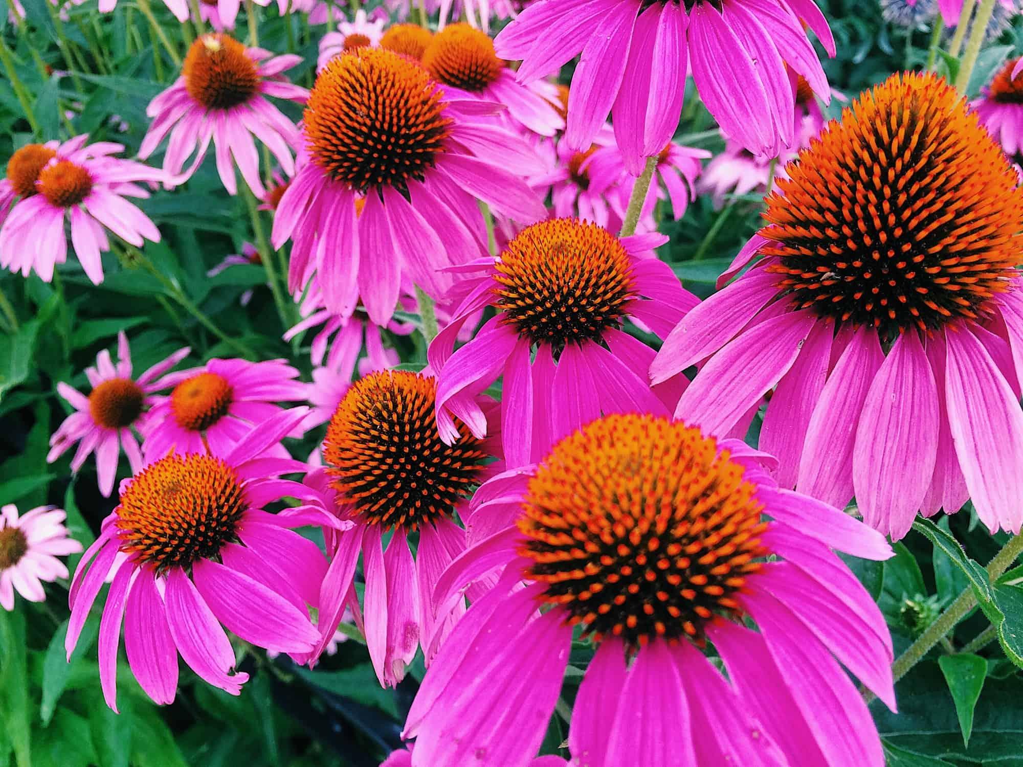 Pink flowers, Echinacea