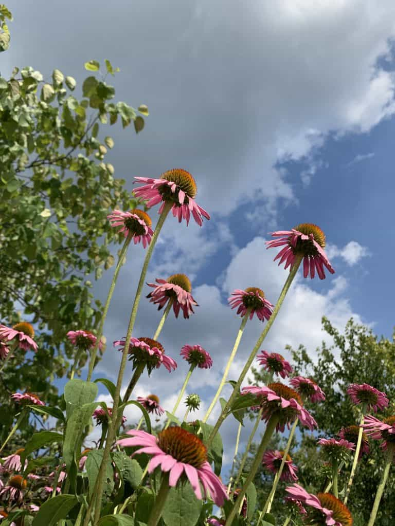 Purple coneflowers reaching for the sky