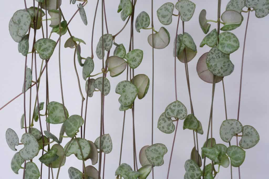 String of Hearts, Rosary Vine, Chain of Hearts, Hearts-on-a-string, sweetheart vine