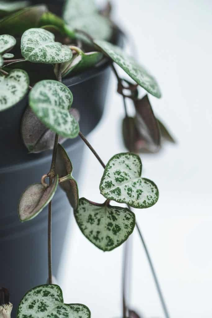 Close up of a string of hearts plant