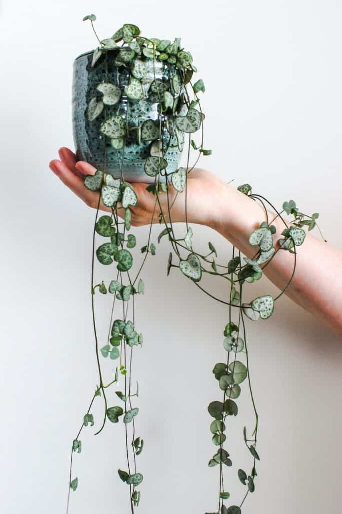 Woman holding potted Ceropegia Woodii (String Of Hearts)