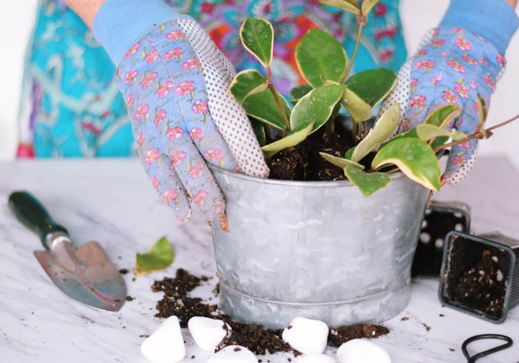 Woman's hands in garden gloves planting green Hoya plant